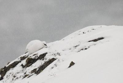 El canvi climàtic altera la reproducció de la perdiu blanca dels Pirineus
