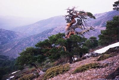 El canvi climàtic dispara la sincronització dels arbres en diferents ecosistemes