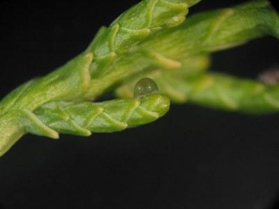 Una espècie nova de pugó a la península Ibèrica descoberta a l'Arborètum-Jardí Botànic de Lleida